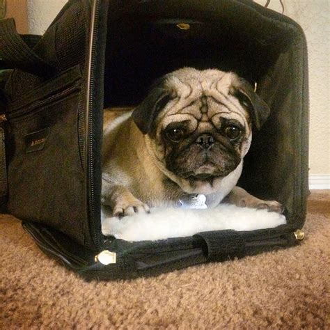 pug crate a guide to flying with your pug airlines crates and more