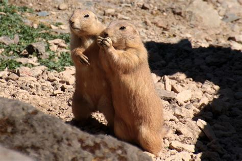 prairie facts some interesting facts about prairie dogs about animals