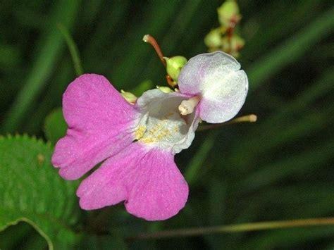 nuova guinea fiori nuova guinea fiore piante annuali fiore nuova guinea