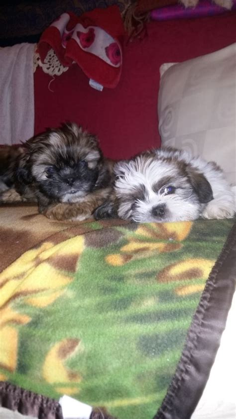 shih tzu puppies for sale in bowling green ky shorkie breed shorkie puppies doncaster south pets4homes shorkie puppies