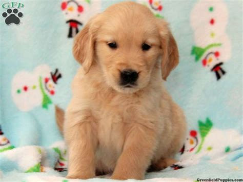 golden retriever puppies wallpapers golden retriever puppies wallpaper hd 26 desktop background hivewallpaper