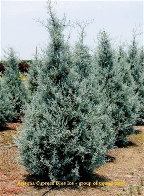 decorated blue arizona cypress blue arizona cypress