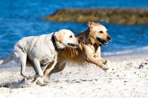 difference between labradors and golden retrievers breed islands history