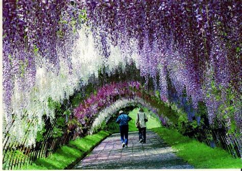 wisteria flower tunnel in japan wisteria tunnel japan hand picked collections