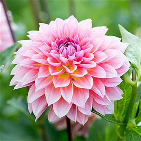 best flower dahlia best bouquet flowers to grow sunset