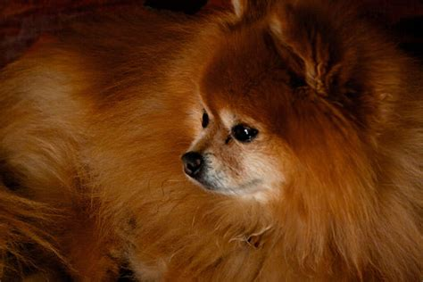 how to tell if your is a pomeranian giving this to your pomeranian daily could help alleviate skin allergies