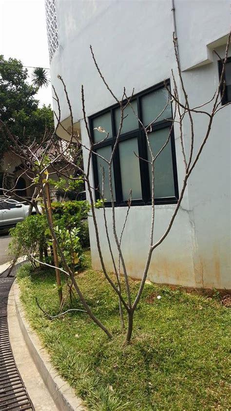 Jual Bibit Pohon Zaitun Jogja pohon tin zaitun home