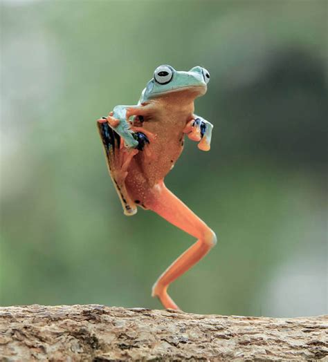 Roger Moore by Ribbit Ing Display By A Dancing Frog Nature News