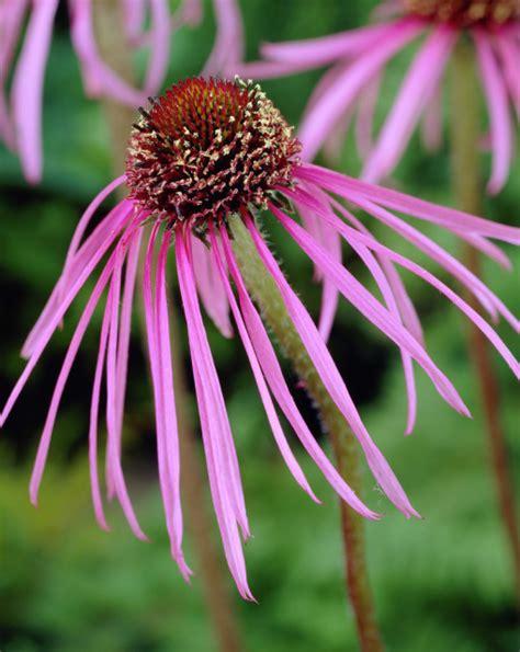 Echinacea Purple Coneflower T1310 4 echinacea pallida