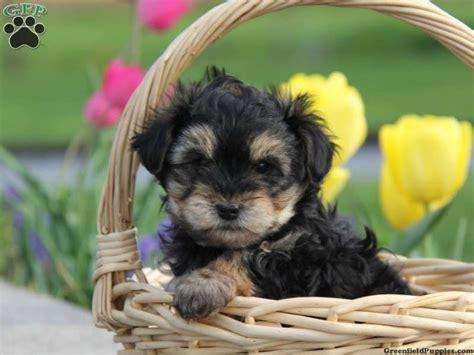 greenfield puppies yorkie poo 220 ber 1 000 ideen zu yorkie poo for sale auf brie honig und