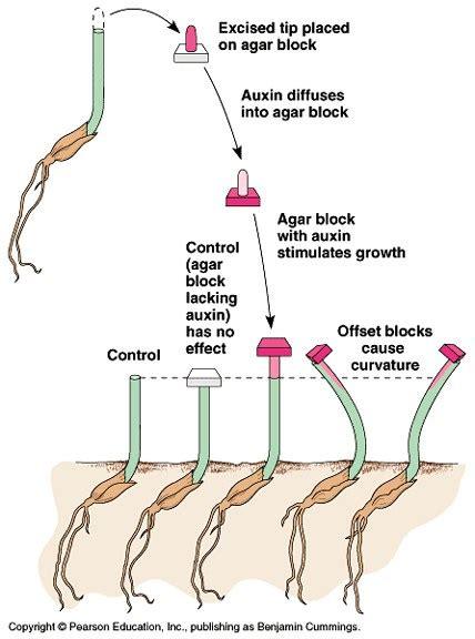 Hormon Auxin auxin the growth hormone garung88