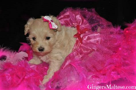 puppies for sale raleigh nc the world s catalog of ideas