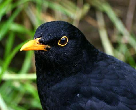 black bird blackbird turdus merula naturespot