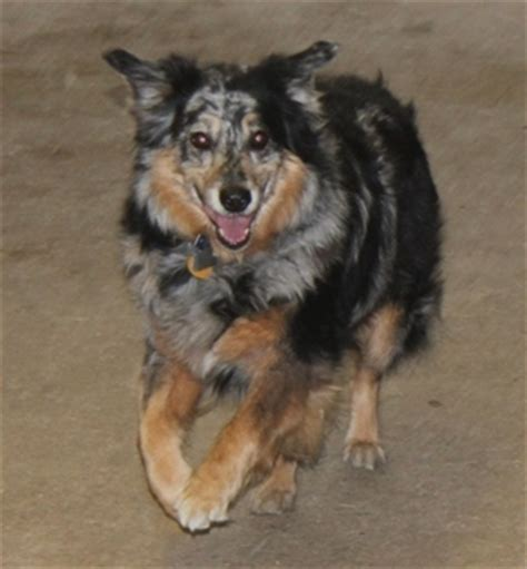 rescue dogs ct ct herding rescue petfinder