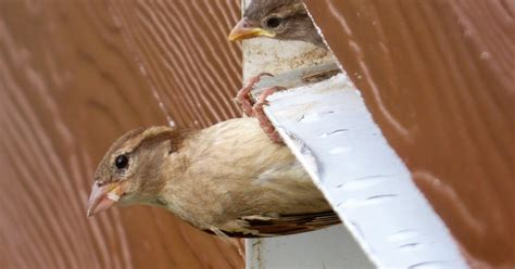 How To Get Bird Out Of Garage by Birds Unlimited Stop Sparrows From Nesting In Garage