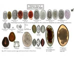 pin fecal float parasite pictures picture of a