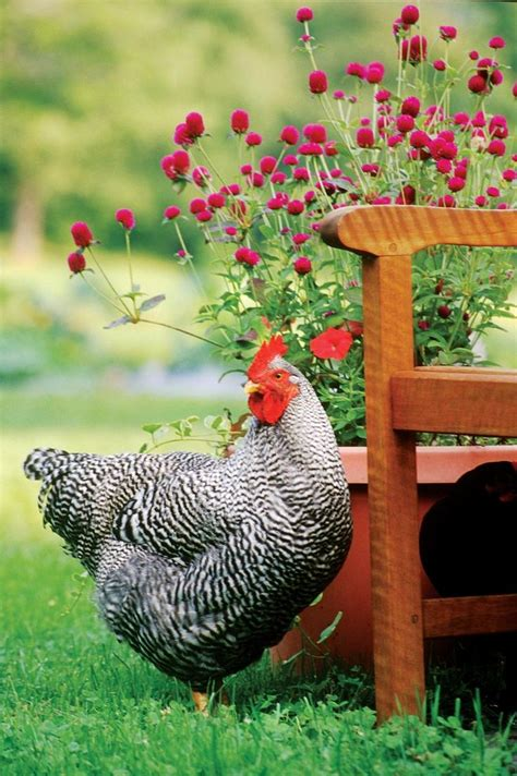backyard chickens and flies 25 best ideas about hens on pinterest chicken breeds