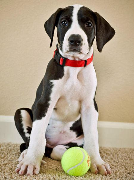 great dane puppy care thira the great dane puppies daily puppy