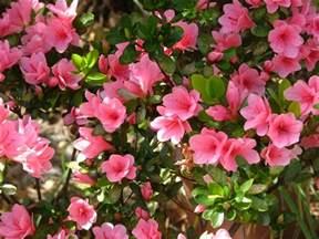 azalea varieties plant care and growing azaleas the