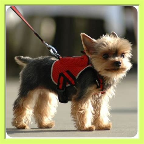 how smart are yorkies yorkie smart owner using the harness yorkies
