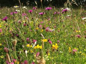 Wild Flower Meadow Seeds - suffolk wild flower meadow wild suffolk flower show