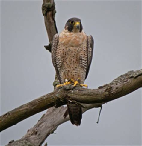 peregrine falcons cuyahoga valley national park u s