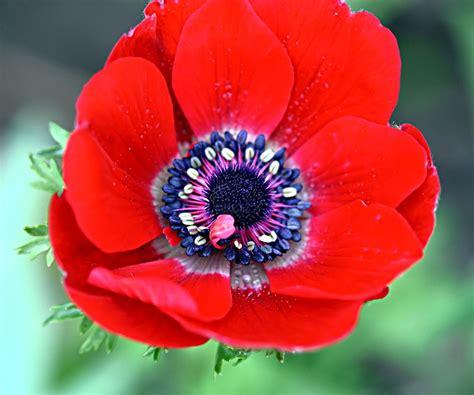 anemone bordeaux anemone coronaria bordeaux google search flora