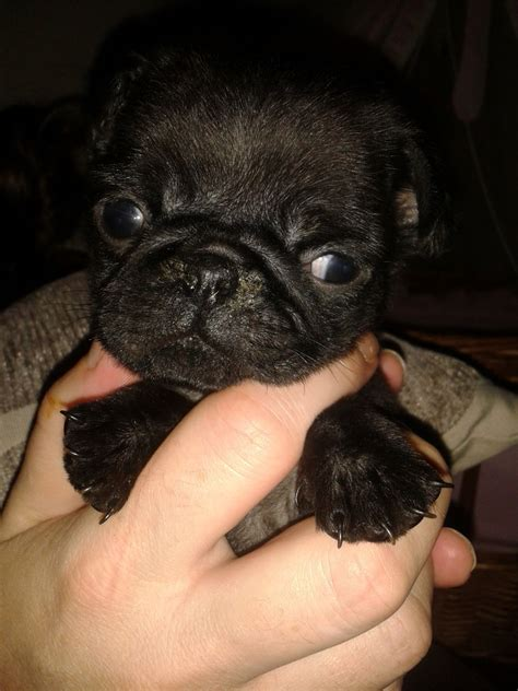 tiny pug puppy tiny pug puppy willenhall west midlands pets4homes