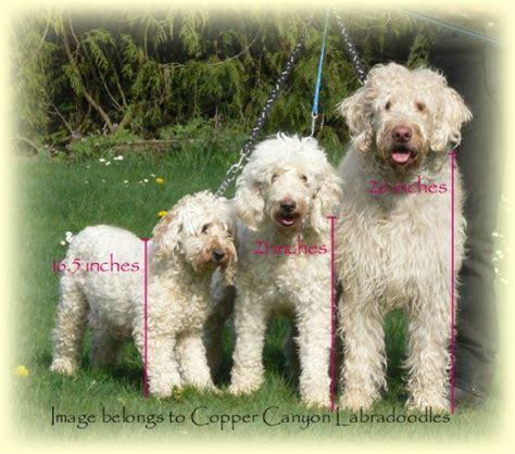 mini goldendoodle how big do they get faq for labradoodles copper labradoodles