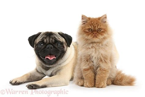 pugs and kittens pets kitten and fawn pug photo wp30767