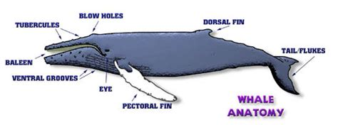 diagram of a humpback whale image gallery whale anatomy