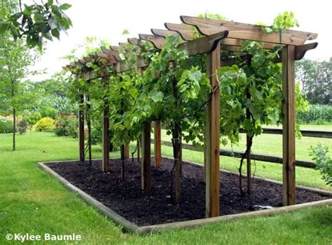 backyard vines best 25 grape vine trellis ideas on how to