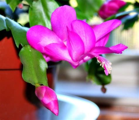 top 28 how much light does a christmas cactus need