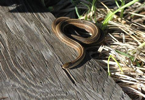 field biology  southeastern ohio short headed garter