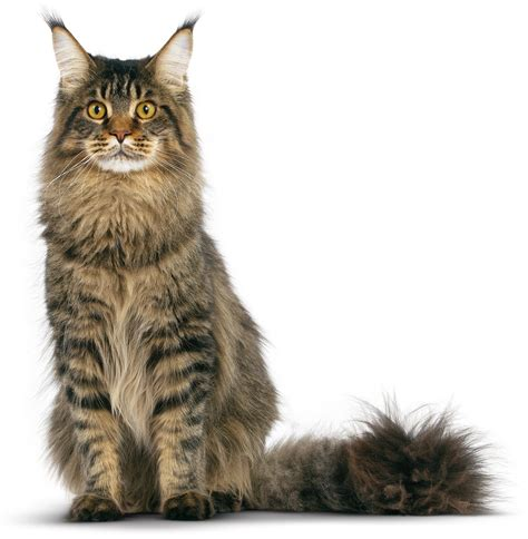 tutorial gambar kucing tabby maine coon cat photo