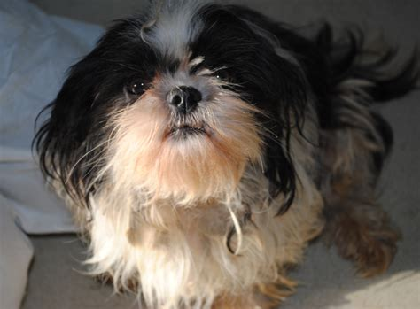 shih tzu free to home ireland dogs trust ireland statement following scotland s cover investigation into