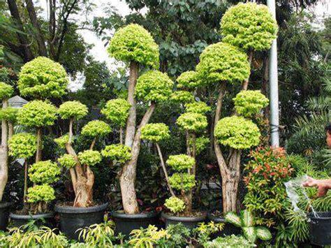 jual supplier segala jenis pohon bonsai  surabaya