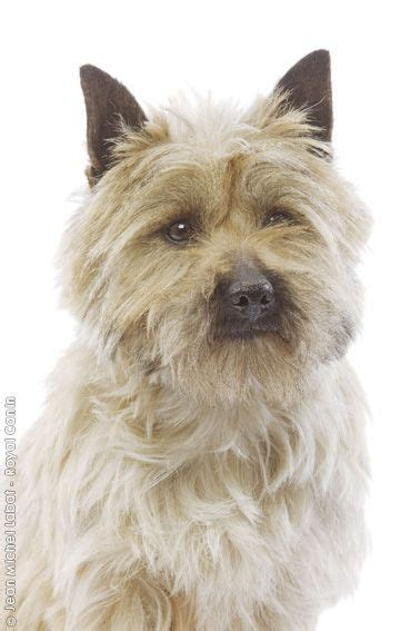 brindle cairn haircut 17 best images about glen of immal terrier on pinterest