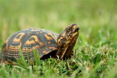Do Turtles Need A Heat L by Box Turtle Strawberry Www Pixshark Images