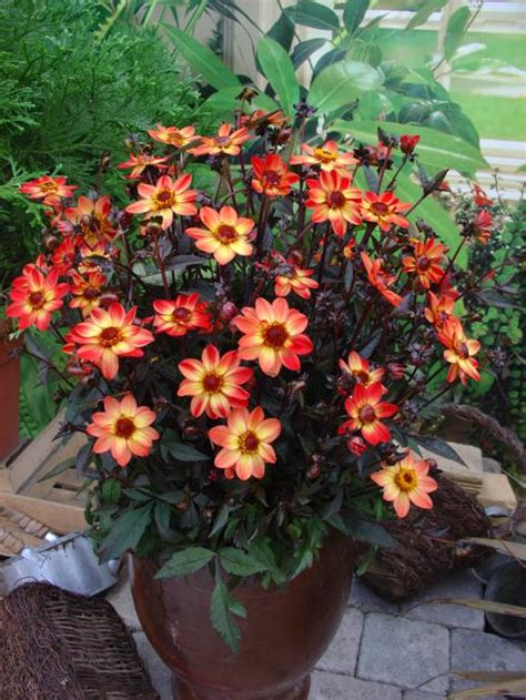 Fall Patio by Pot Dahlia Dahlia Dark Angel Star Wars From Growing Colors