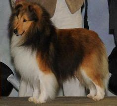 akc sheltie puppies for sale a warm welcome to sunburst shelties sheltie puppy for sale in shetland sheepdog