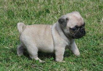 elongated soft palate in pugs i everything you need to all about pugs