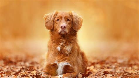 dogs wallpapers full hd 1080p best hd dogs wallpapers gg yan full hd wallpaper dog muzzle alone autumn desktop