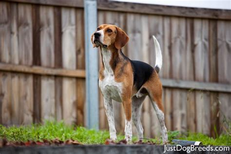 Clay - English Foxhound - Dog Breeds
