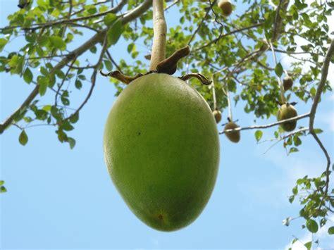 baobab fruit baobab seed is 6 health benefits of baobab powder