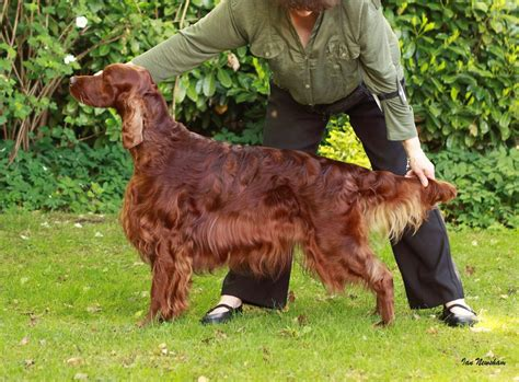 red setter dogs and puppies for sale super quality irish red setter puppies nottingham