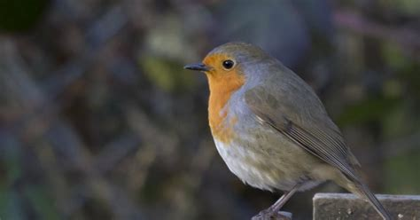 european robin amazing facts