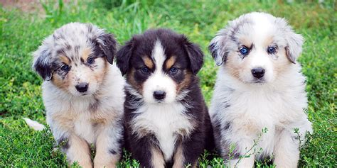 australian shephard puppies australian shepherd information characteristics facts names
