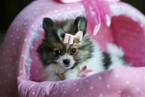 teacup pomeranian for sale bc teacup pomeranian puppies for sale in ga zoe fans baby animals
