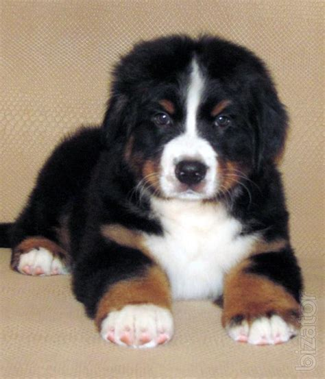 elite puppies sold elite puppies bernese mountain from chions buy on www bizator
